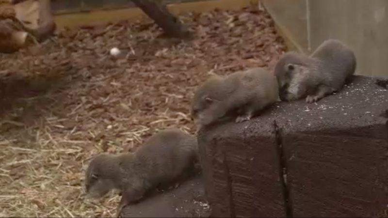 Zwergotter-Nachwuchs im Zoo (Foto: SAT.1 NRW)