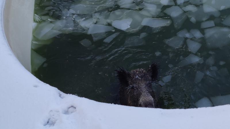 Wildschwein bricht in Pool ein (Foto: SAT.1 NRW)