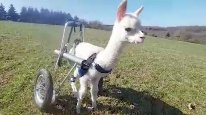 Baby-Alpaka braucht Rollstuhl (Foto: SAT.1 NRW)