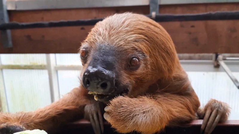 Ältestes Zoofaultier der Welt (Foto: SAT.1 NRW)