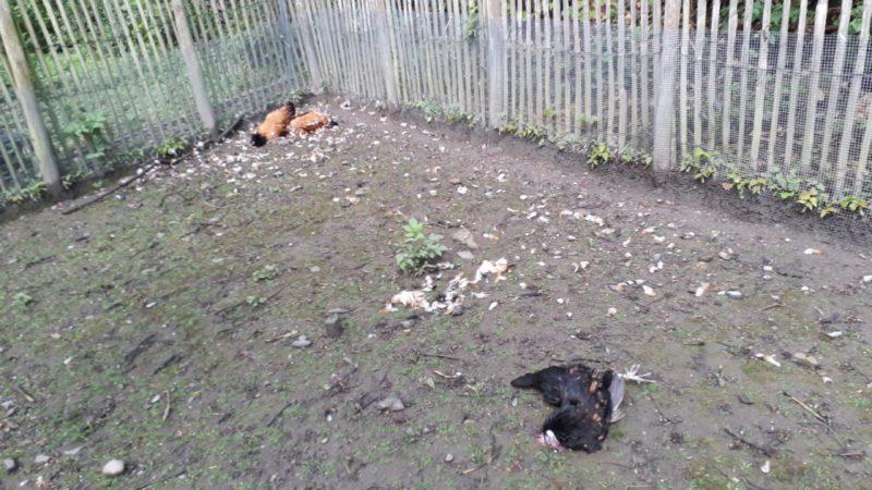 Hühner in Velbert getötet (Foto: SAT.1 NRW)