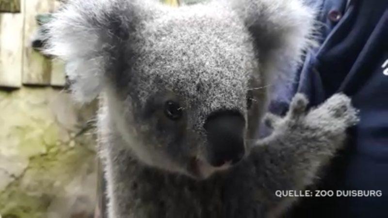 Koala-Baby ist gesund (Foto: SAT.1 NRW)