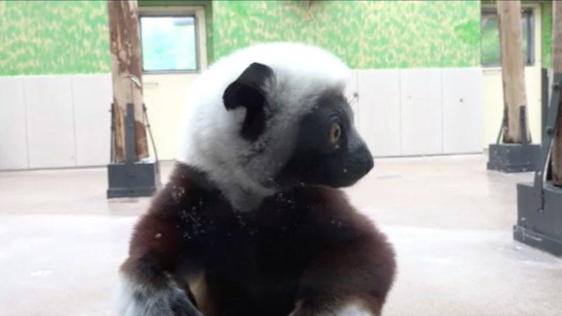 Seltenes Lemuren-Paar im Kölner Zoo (Foto: SAT.1 NRW)