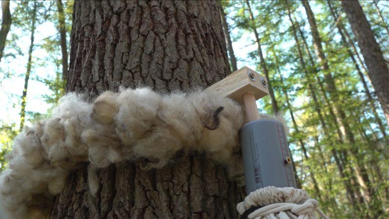 Wolle hilft gegen Eichenprozessionspinner (Foto: SAT.1 NRW)