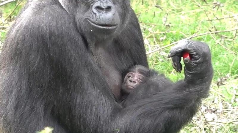 Erstes Gorilla-Baby nach Großbrand (Foto: SAT.1 NRW)