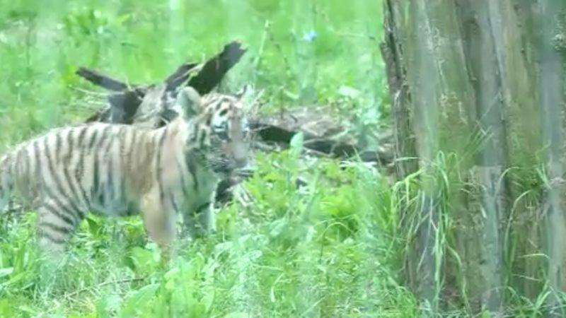 Tiger-Nachwuchs in Duisburg (Foto: SAT.1 NRW)