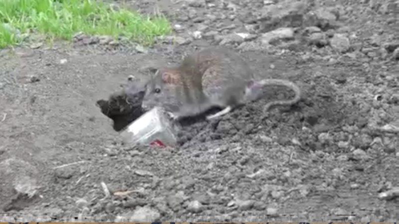 Rattenproblem am Kölnberg erledigt? (Foto: SAT.1 NRW)